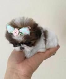Promocao!!Filhotes fêmeas mini Shih Tzu 12X90 cartao com linda CAMA brinde 99549 1140zap