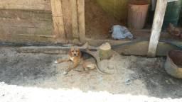 Beagle com americano 200 reais