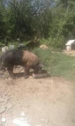 Vendo porco reprodutor 250 Lilo enterrados chamar no