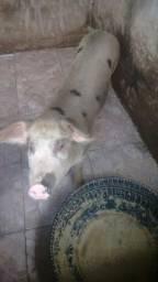 Vendo um casal de porco quatro pernil