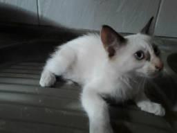 Doar essa linda gata siamês