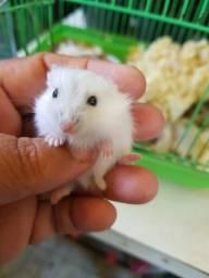 Hamster anao russo ( aceito cartao)