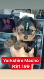Super promoção!!! Yorkshire Macho R$1.199