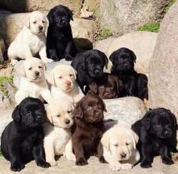 Labrador,machinhos e fêmeas com garantias de vida e saúde