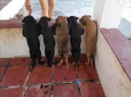 Filhotes de Pitbull com rottweiler