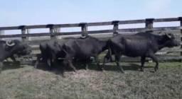 Vendo 7 Búfalas