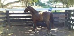 Cavalo 4 anos manso de Sela