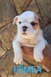 Bulldog inglês com pedigree