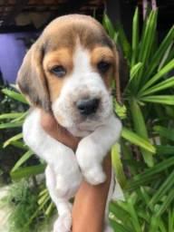 Macho e Fêmea! Beagle Filhote 13 Polegadas com Pedigree e Vacina Importada