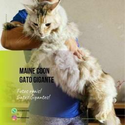 Maine Coon-Gato