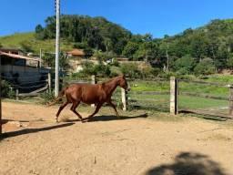 Égua prenha de mangalarga premiado em pista