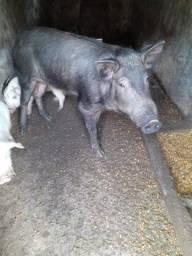 Java porco