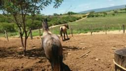 Vendo esses dois cavalos mestiça mangalarga marchador