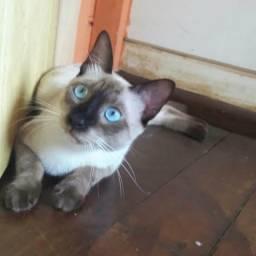 Gato siamês desaparecido