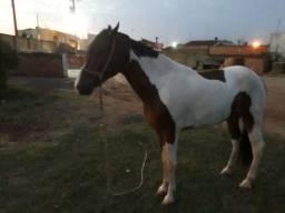 Vendo cavalo muito manso de sela