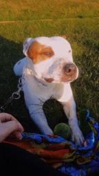 American staffordshire terrier* procuro namorada*