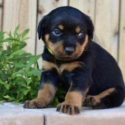 Rottweilers Filhotes Gigantes