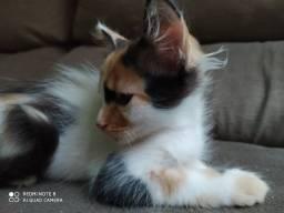 Linda gatinha para adoção responsável