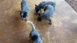 Filhote Blue Heeler