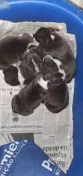 Lindos filhotes de American Staffordshire Terrier