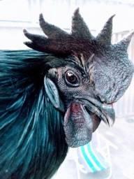 Galo da raça ayam cemani