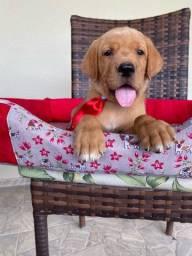 Labrador macho com pedigree belíssimo em promoção