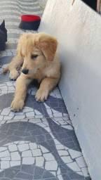 Vendo Labrador Baby