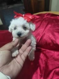 Poodle mini toy macho e femea
