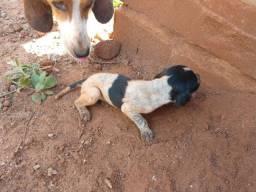 Filhotes foxhound americano, urrador