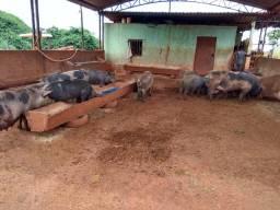 Vendo porcos de ótima qualidade e barato