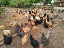 Vendo/troco 200 galinhas caipira poedeiras