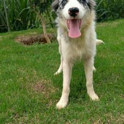 Border collie 28999309345