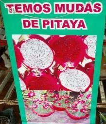 Mudas De Pitaya.