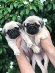 Lindos babys de pug disponível