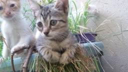 Gatinhas para adoção - 2 meses - Fêmeas