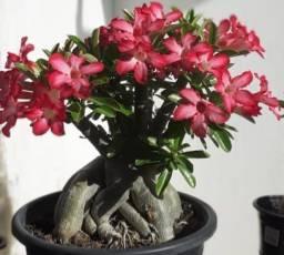 Tenho uma rosa do deserto com 6 anos para vende