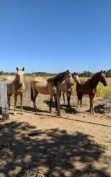 Cavalos Quarto de Milha a venda Mara Rosa