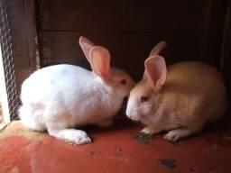 Vende-se dois coelhos