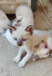 4 gatinhos siamês pra doação