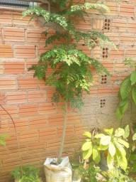 Vendo muda de plantas