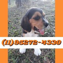 Belos filhotes de Beagle macho tricolor disponível só aqui