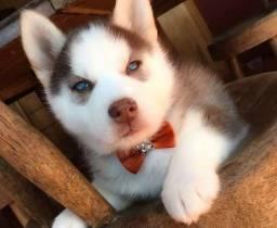 Husky Siberiano Filhotes Recibo Garantia Pedigree