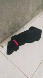 Labrador X Rottweiler, fêmea