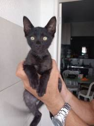 Gato preto filhote 3 meses