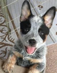 Lindos Filhotes de Boiadeiro Australiano Blue heeler com pedigree