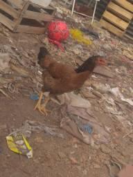 Vendo uma galinha