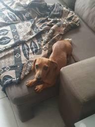Vendo filhote dachshund (linguicinha) basset