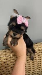 Yorkshire Terrier. Belos!!!