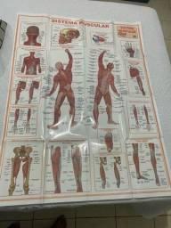 Título do anúncio: Cartaz sistema muscular e esquelético