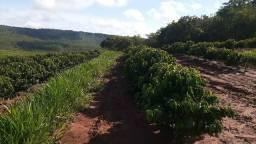 Tratorista c/ experiência café irrigado região P. Olegário MG